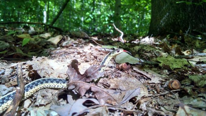 Garter snake tongue-flicking. Photo by Jessie Rack.